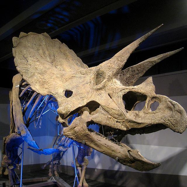 Mein Lieblingsdinosaurier: </br></br> Triceratops!